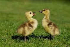 Squabbling goslings.