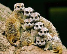 If only people could pose as naturally as these Meerkats do, I wouldn't mind doing family portraits.