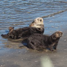 Sea otters hauled out and socializing at Moss Landing, California | by Ingrid Taylar River Otter, Sea Otter, Animals And Pets, Baby Animals, Cute Animals, Otter Tattoo, Significant Otter, Otter Love, Baby Otters