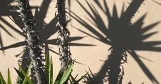 February 20, 2017 Drought Tolerant, Garden, Miscellany, Shadow, Travel #DailyGratitude, #DailyMeditation, #dailypic, #gardenphotography, #gratitude, #nofilter, Anne Strasser, annestrasser, Daily Surprise, La Jolla CA, Meditation, Nokia Lumia 822, Photography, Shadows, Yucca