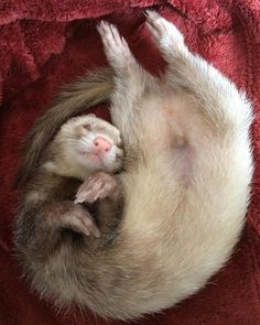 Pet Ferret, Animals Of The World, Animals And Pets, Baby Animals, Cute Funny Animals, Cute Dogs, Cute Ferrets, Lovely Creatures, Softies