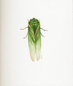 This green grocer cicada painting is a life size study in watercolour Science Illustration, Botanical Illustration, Jenny Phillips, Book Illustrations, Science And Nature, Natural History, Tattoo Inspiration, Bees, Illustrators