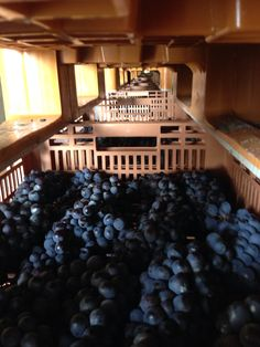 Healthy Allegrini grapes drying. One day they hope to become Amarone #wine.