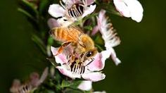This bee is collecting nectar from the pink manuka honey flower in New Zealand, so you may enjoy your next jar of raw manuka honey. #pure_manuka_honey #manuka_honey_unpasteurized #buy_manuka_honey_online #manuka_honey_umf Raw Manuka Honey, Bee Facts, This Is Us, Jar, Activities, Flowers, Pink, Royal Icing Flowers, Glass