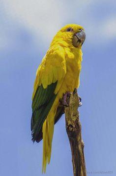Ararajuba | Fotografia de elzeni001 | Olhares.com