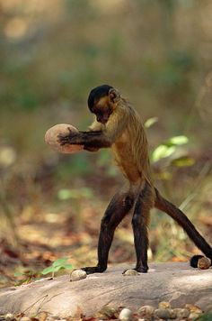 Tool use by a capuchin monkey: the monkey cracks a tough palm nut by dropping a large stone from an upright position. Built by Animals - The Natural History of Animal Architecture Chimpanzee, Orangutan, Primates, Mammals, Unique Animals, Cute Animals, Rainforest Pictures, Types Of Monkeys, New World Monkey
