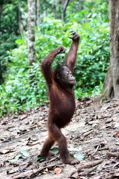 Forest school at Samboja Lestari, BOS-F, East Kalimantan List Of Animals, Animals And Pets, Baby Animals, Funny Animals, Cute Animals, Planeta Animal, Borneo Orangutan, Photo Animaliere, Cute Monkey