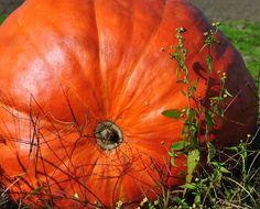 Pumpkin Big Max Pumpkin Seeds  Grow Your Own by thegardenstudio, $2.00