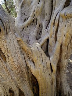 Giant Juniperus in Grand Canyon, by Blaise Cayol