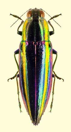 Iridotaenia bellicosa (Buprestidae)