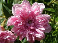 Fascinating Flowers: The Best and Classic Old Garden Roses -- Damask Rose