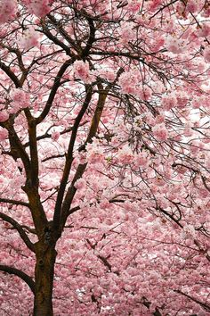 One day I'm going to have a backyard overflowing with cherry trees.  Magical!