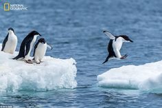 An adelie penguin leaping from one ice floe to another at Brown Bluff on the Antarctic Peninsula, surveyed by three friends and shot by Nick Dale