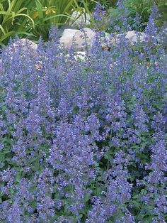 Nepeta Walker's Low -- Bluestone Perennials - zones full sun to mostly sunny, bloom early summer to late summer, H sp apart, soil (normal, sandy) pot size square x deep (note refer to page for cutting back to promote reblooming.