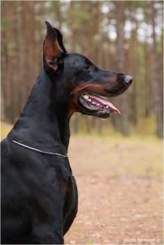 Doberman Dog so handsome!I want this companion <3