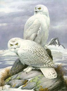 snowy owls pose