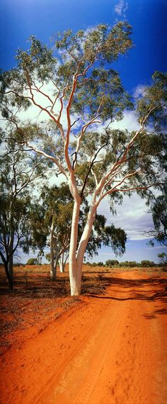 Ghost Gum, Finke River National Park, Northern Territory, Australia - What a gorgeous photograph - I love the red dirt track, the white gum and the blue sky - beautiful contrasting colours ~ South Australia, Western Australia, Australia Travel, Australian Cattle Dog, Australian Bush, Australian Icons, Thinking Day, Beautiful Landscapes, Landscape Photography