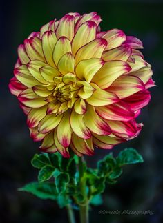 Holy_Dahlia by limeblu photography on 500px