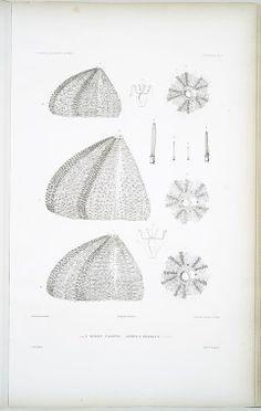 1. 2. 3. Oursin calotte, Echinus pileolus.