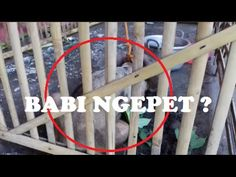 Babi Ngepet: Penampakan Diduga Babi Ngepet Ini GEGERKAN Warga Solo