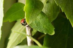 larry ladybird walking on hibiscus stick Hibiscus, Larry, Walking, Smile, Walks, Hiking, Laughing