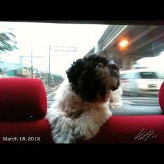 Pepperの指定席 #shihtzu #dog #philippines