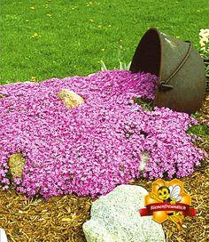 Low maintenance ground covers that suppress weeds creeping thyme teppichphlox emerald pink balduremeraldscarpetfront yardsgrassesflowers gardenground cover mightylinksfo