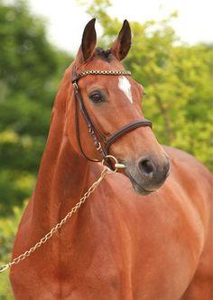 Chanel, a Holsteiner mare. German Horse Center.