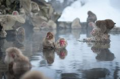 Snow Monkey Onsen- The monkeys ride each other to avoid getting wet sometimes. Japanese Macaques take a bath in onsens at the Jigokudani Yaenkoen in Nagano, Japan.