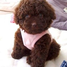 "Figure out additional information on ""Poodle pups"". Look into our web site. Toy Poodle Puppies, Poodle Mix, Cute Puppies, Cute Dogs, Dogs And Puppies, Fluffy Puppies, Doggies, Teacup Puppies, Chocolate Toy Poodle"