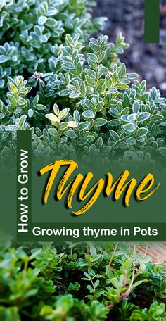 How to Grow Thyme, Growing thyme in Pots, Thyme care, Thyme is a pungent, woody perennial and wonderful herb native to the Mediterranean Sea. Container Gardening Vegetables, Vegetable Garden, Herb Garden, Garden Tips, Container Flowers, Container Plants, Thyme Growing, Thyme Plant, Snake Plant Care