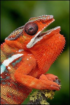 tiny-creatures:  Panther Chameleon by AnimalExplorer on Flickr.