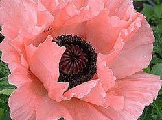 35 Plum Pudding Papaver Rosa und Schwarz Mohn Orientale Blumensamen Mehrjährig