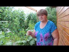 Огурцы.Огурцы в мешка. Маленькие хитрости для большого урожая. - YouTube