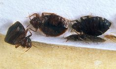Reports of bed bugs in New York City Hotels have jumped by more than 44 per cent between 2014 and 2015 according with experts warning that the blood-sucking insects are now immune to pesticides.