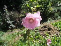 ROSE TRÉMIÈRE, le charme absolu Hibiscus, Gardens, Dried Flowers, Glamour