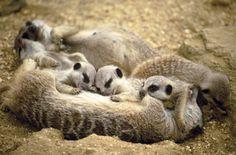 Une famille de suricate.
