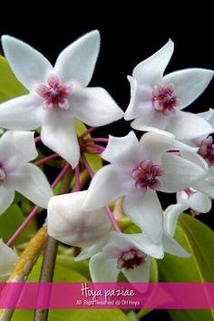 Hoya paziae