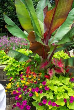 GORGEOUS - Tropical Look:  Banana Plant, Calla Lillies, Sweet Potato Vine, Petunia, Coreopsis. (Is Yellow-Leaf in Back a Coleus? & Is red on left an Amaranth?) - Interesting Combo for Sun.