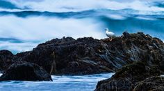 Bing Image Archive: Kelp goose on Cole-Cole Beach, Chiloé National Park, Chiloé Island, Chile (© SIME/eStock Photo)(Bing Canada)