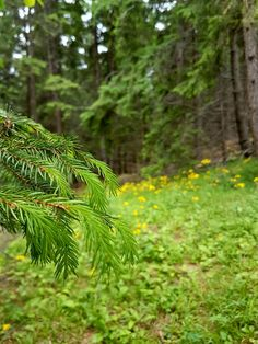 Mountain fir