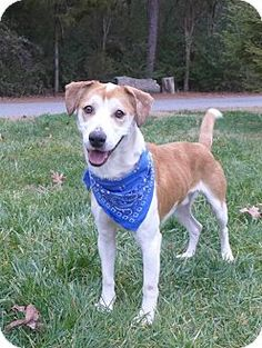 Mocksville, NC - Terrier (Unknown Type, Medium)/Hound (Unknown Type) Mix. Meet Zach, a dog for adoption. http://www.adoptapet.com/pet/12203397-mocksville-north-carolina-terrier-unknown-type-medium-mix