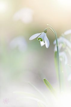 Photograph Single Snowdrop by Jacky Parker on 500px