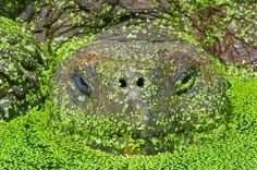 Made me think of Neverending Story. Giant tortoise in pond covered with Chelonoidis nigra, Santa Cruz Island, Galapagos Islands