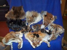 10 real animal fur Tanned face head skin pelt parts beaver coon coyote fox skunk