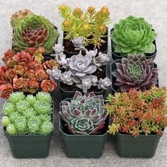 Yes pleeeeeaaaaasssseeee!!!!!  Rock Garden Hardy Succulent Collection (9) - Mountain Crest Gardens