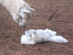Poodle puppy playing with alpacas. so cute!!!!    #poodles #poodlesrule