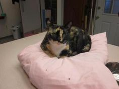 Pumpkin is an adoptable Calico Cat in Hopewell, VA. Alpha female, loner but okay with attention. LOVESSSS can food!...