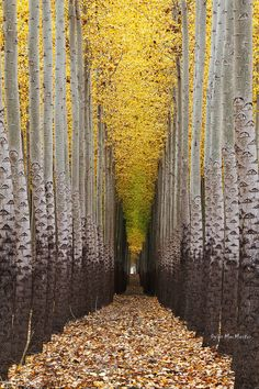 ✯ Walking Towards The Light.Tree Farm near Boardman, Oregon ✯ Walking Towards The Light.Tree Farm near Boardman, Oregon Beautiful World, Beautiful Places, Beautiful Forest, Tree Tunnel, Tree Lighting, Belle Photo, Wonders Of The World, Mother Nature, Paths