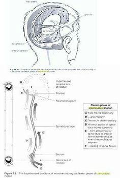 The cranial sacral rythum